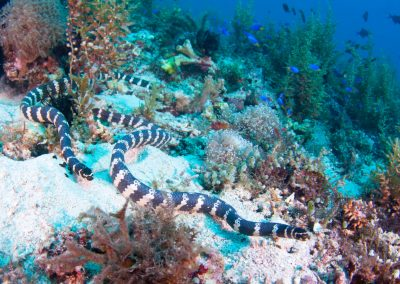 GenesisDivers_Seasnakes_1